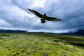 Angry Bird | Southeast Coast, Iceland