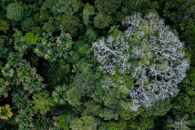 Aerial view of Kapok / Ceiba tree (Ceiba pentandra) in the Amazonian canopy, Yasuni National Park, Orellana, Ecuador.