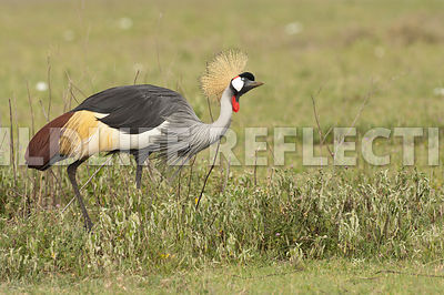 crested_crane_feeding_walk_11