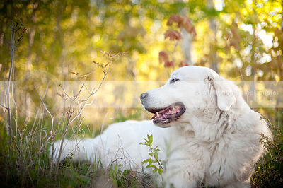 large white pyrenees dog lying lounging in summer meadow