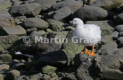 Pair of Kelp Geese (Chloephaga hybrida) (female on left, male on right), Ushuaia, Tierra del Fuego, Argentina