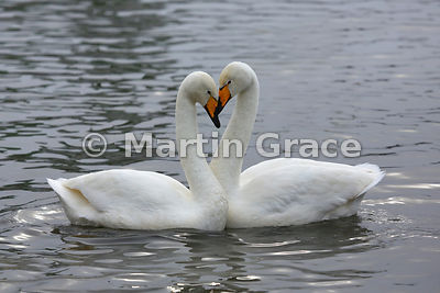 Love in a cold climate: Pair of wild Whooper Swan (Cygnus cygnus), Tjornin City Pond, Reykjavik, Iceland, in late winter