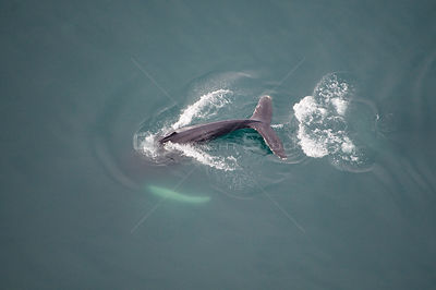 Aerial view of Humpback whale (Megaptera novaeangliae) fluking, Skjalfandi Bay, Northern Iceland, July 2009
