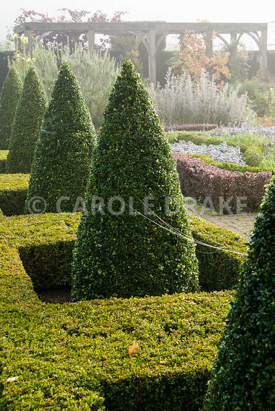 Clipped box cones rise from a frame of golden box in the Formal Garden. Waterperry Gardens, Wheatley, Oxfordshire, UK