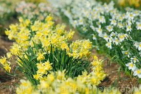 Ron Scamp's fields of historical daffodil varieties flowering in April including: Narcissus 'Sulphur Phoenix' (pre 1820) and ...