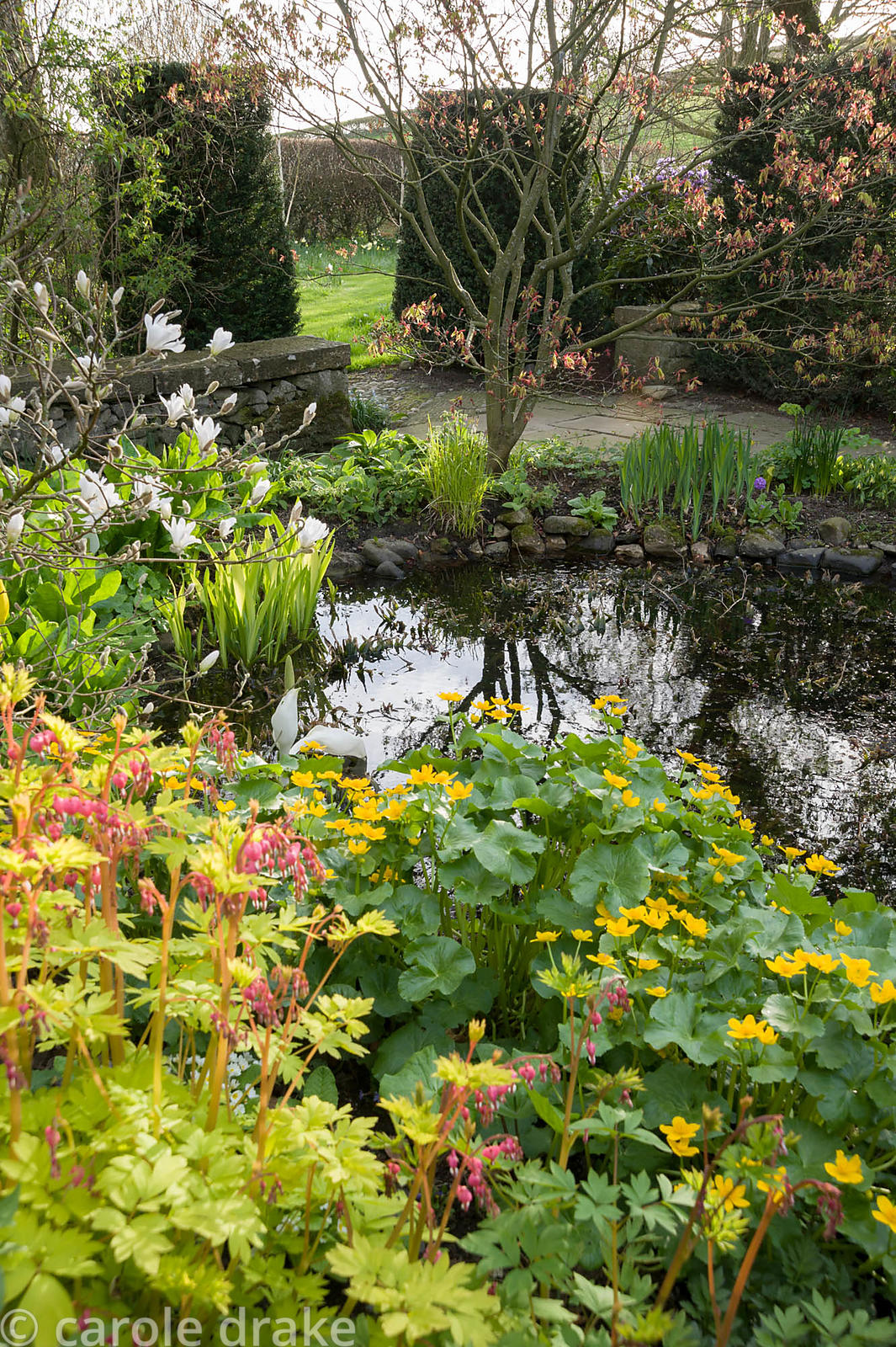 Pond with Dicentra spectabilis 'Gold Heart' and marsh marigolds, Caltha palustris, in the foreground, with primulas below an ...