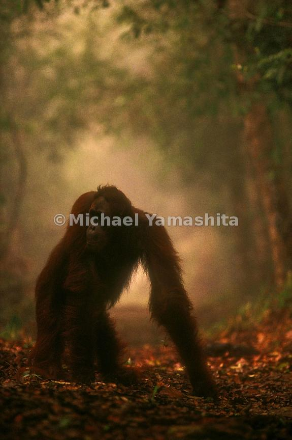 Orangutans are shy and defenseless creatures; here one emerges from the forest in search of food and clean air.