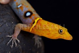 Ocellated day gecko (Gonatodes ocellatus)