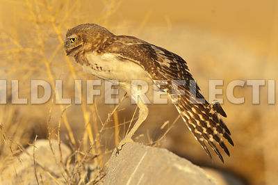 burrowing_owl_wing_stretch_front_2