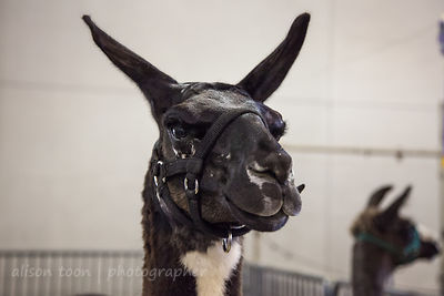SACRAMENTO, CA, 26 JULY 2013: Llamas and alpacas at the  California State Fair, 28rd July 2013