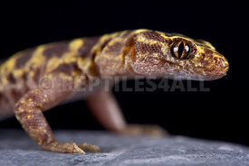 Granite night lizard (Xantusia henshawi )