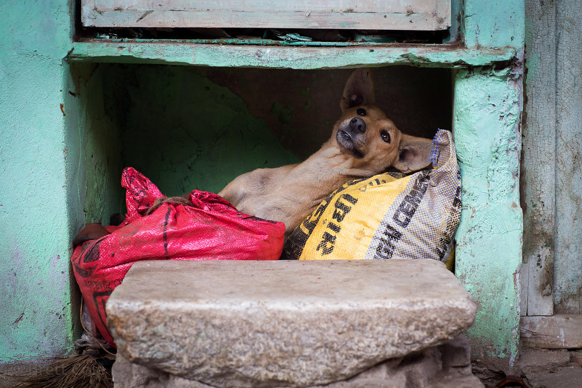 A street dog rests under the front porch of a house in Pushkar, Rajasthan, India