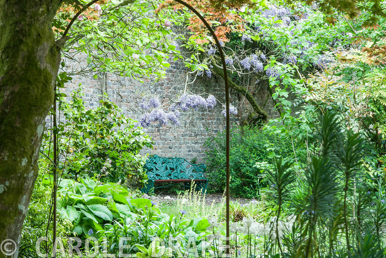 Gingery acer and purple wisteria frame a fern seat in the Flower Garden. Enys Gardens, St Gluvias, Penryn, Cornwall, UK