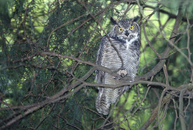December - Great Horned Owl