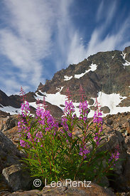 Fireweed Blooming in Royal Basin of Olympic National Park