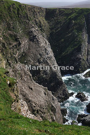 Cliffs of Hermaness National Nature Reserve, Unst, Shetland, with nesting colonies of Northern Gannet (Morus bassanus)