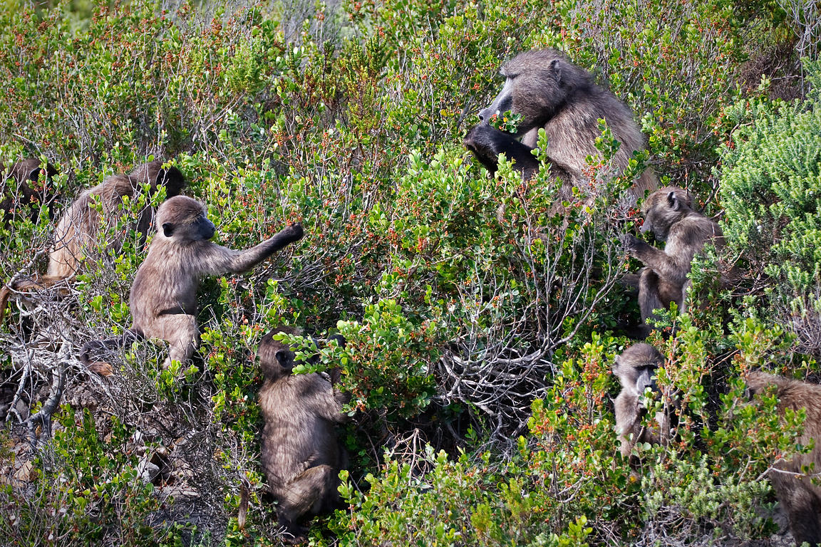 Chacma baboons from the Buffels Bay troop eat flowers from a protea plant (sp.), near Buffels Bay, Cape Peninsula, South Africa