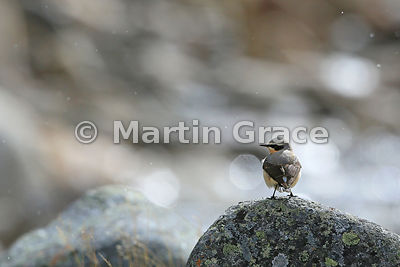 Northern Wheatear male (Oenanthe oenanthe) with fast-flowing water behind, Strathdearn, Scottish Highlands