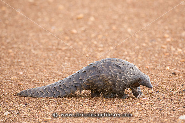 My first pangolin. photos