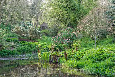 Pond in the valley garden with rhododendron, gunnera and the new pink leaves of Acer pseudoplatanus 'Brilliantissimum'. Brill...