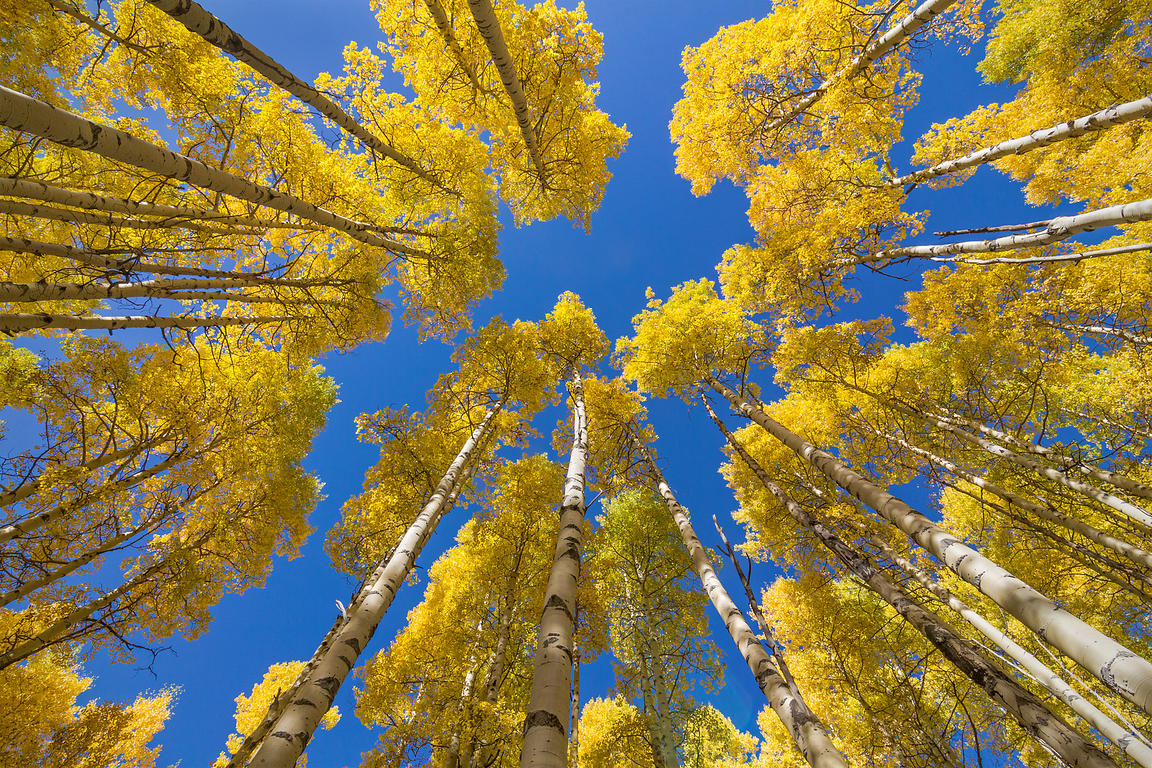 Looking Up in the Aspens