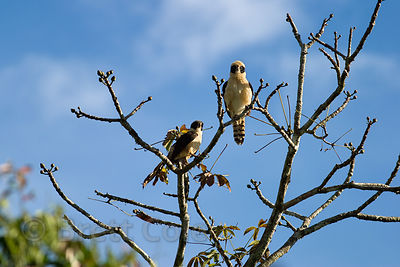 Laughing falcons (Herpetotheres cachinnans), CR SP - Guaco, in the Los Cusingos Reserve, Costa Rica. They are expert snake hu...