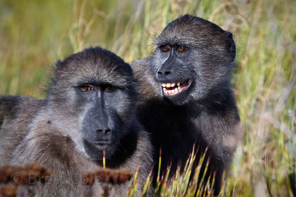 A chacma baboon from the De Gama Park troop gestures expressively, in the Slangkop area of Table Mtn. National Park, Cape Pen...