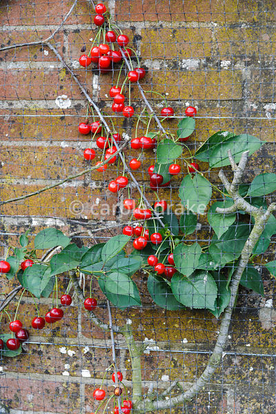Netted cherry tree on a wall of the kitchen garden. Rodmarton Manor, Rodmarton, Tetbury, Glos, UK