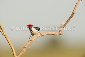 yellow_billed_cardinal_pantanal-4-Edit