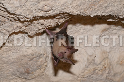 waterhouse_bat_hangin_45