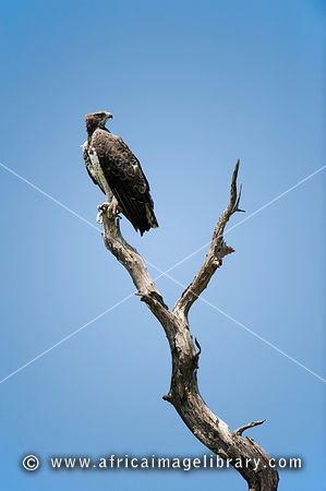 Martial eagle, Polemaetus bellicosus, Kruger National Park, South Africa