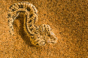 Peringuey's adder (Bitis peringueyi) is endemic to the Namib desert. It often buries itself into the sand with only the eyes ...