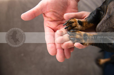 closeup of black and tan dog paws on owners hands showing family