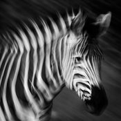 5792-Zebra_out_of_focus_South_Africa_2008_Laurent_Baheux_203ko