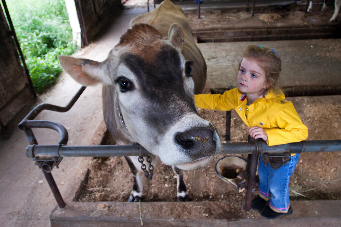 A girl pets a cow on a dairy farm along the Wallkill River, New York