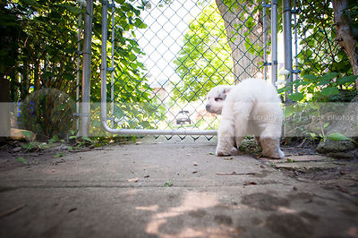 white puppy dog from behind looking back squinting at gate fence