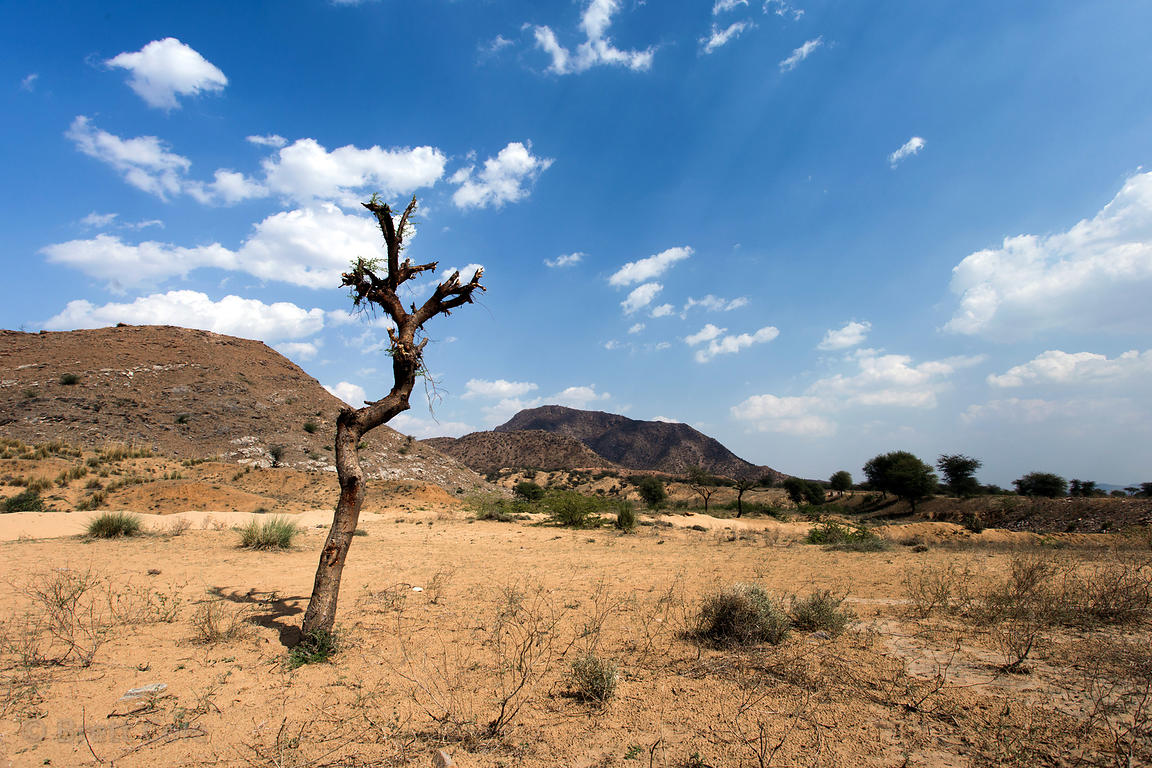 Lonely pruned tree in desert sands, Amba village, Rajasthan, India. Such trees are pruned for goat feed and fire fuel.