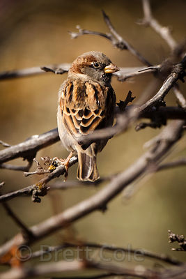 House sparrow (Passer domesticus), Tule Lake NWR, California