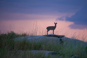 Klipspringer standing on a rock at dusk (Oreotragus oreotragus), Serengeti National Park, Tanzania