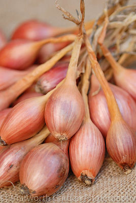 Shallot 'Jermor'. © Jo Whitworth