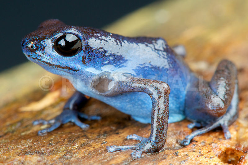 Oophaga pumilio, Blue strawberry frog, Cauchero,Panama