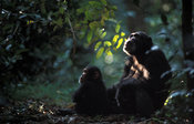 chimpanzee, Pan troglodytes, with baby in dense forest in Gombe Stream National Park, Tanzania