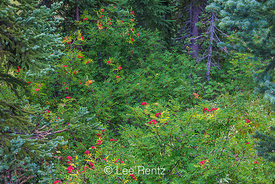 Western Mountain Ash Fruits in a Subalpine Forest on Mt. Adams