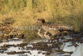 egyptian_goose_goslinge_02252015-7-Edit-Edit