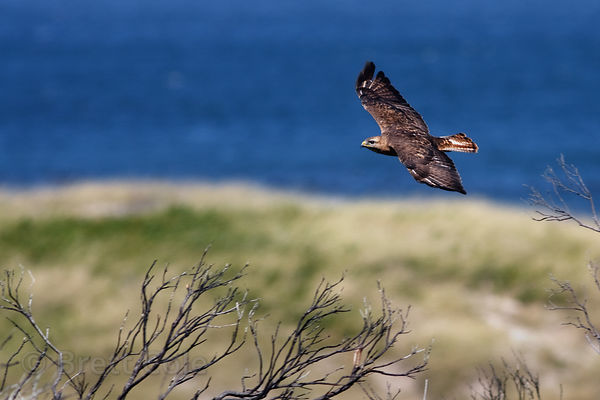 Steppe buzzard (Buteo vulpinus) flying over the beach, Olifantsbos, Cape Peninsula, South Africa