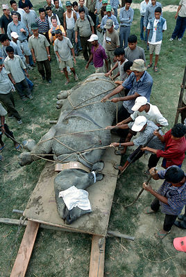 Indian / Asian rhinoceros (Rhinoceros unicornis) sedated before loading into transport vehicle at Chitwan NP, Nepal, for tran...