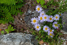 (Erigeron Caucasicum) in the Juliana Alpine Garden