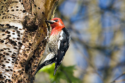 March - Red-breasted Sapsucker