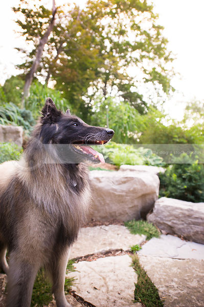 portrait of handsome shepherd dog standing near boulders in park