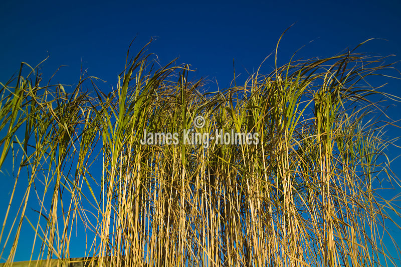 Miscanthus for use as biofuel